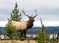 Bull Elk, near Lake Yellowston, Yellowstone National Park