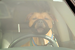 Pit bull dog in drivers seat, wearing a muzzle