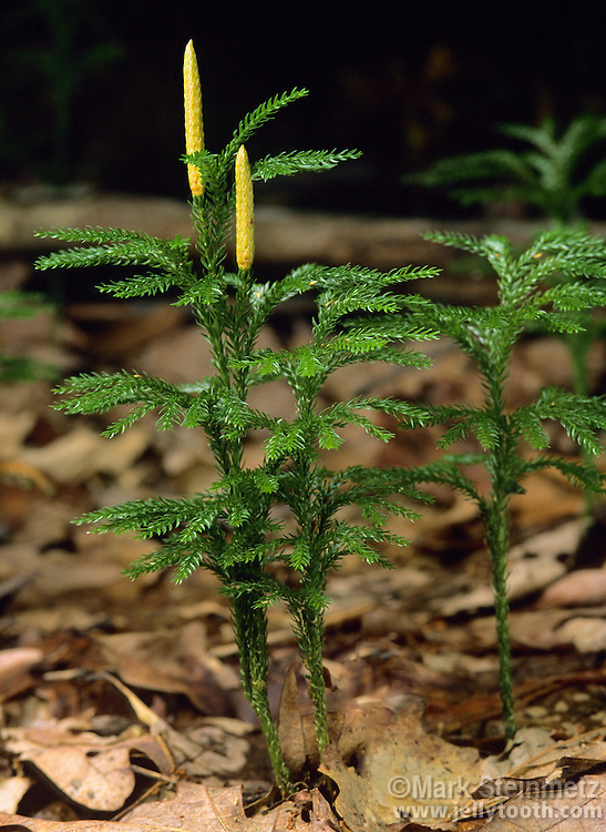 Tree Groundpine, a clubmoss (Lycopodium), with spore-bearing cones. Lycopodium dendroideum (aka Lycopodium obscurum). Bear Run Nature Preserve, Pennsylvania, USA.