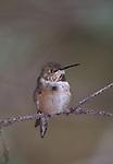 Anna's Hummingbird ( calypte anna)