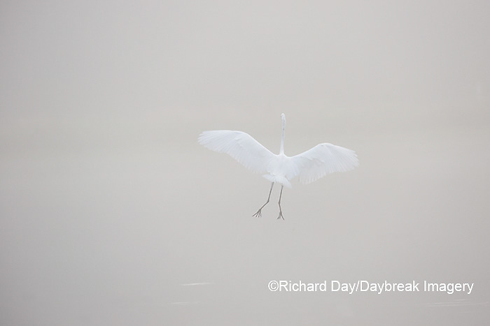 00688-02319 Great Egret (Ardea alba) fishing in wetland in fog, Marion Co., IL