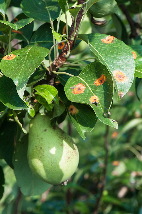European pear rust (Gymnosporangium sabinae). Early stages are characterized by yellow-orange patches on the upper surface of leaves.