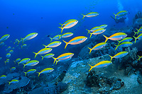 Yellowback Fusilier, Caesio teres, Koh Tachai, Similan Islands, Mu Ko Similan National Park, Andaman Sea, Indian Ocean, Thailand