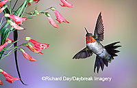 01162-094.13 Ruby-throated Hummingbird (Archilochus colubris) male at Prairie Fire Penstemon (Penstemon barbatus) Shelby Co. IL