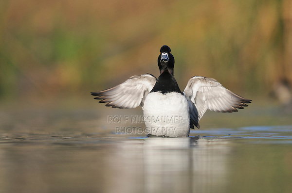 Ring-necked Duck (Aythya collaris), male flapping wings, Dinero, Lake Corpus Christi, South Texas, USA