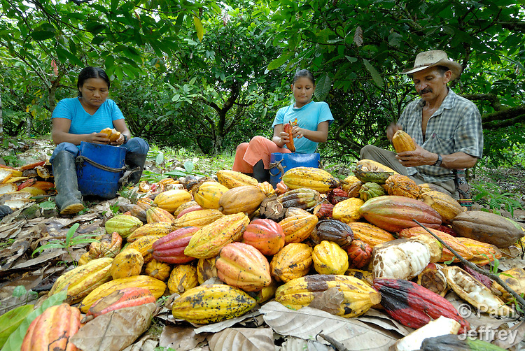 Harvesting cacao in the peace community of San Jose de Apartado, Colombia. Left, Graciela Tuvergia; center, Daisy Paola Tuvergia; right, Jesus Montoya. In 1997, 1400 war-weary peasants declared they would no longer cooperate with any of the armed parties in the hemisphere's longest-running war. They paid a heavy price for their witness; more than 200 members of the community have been killed. In 2013, two army generals were indicted for a 2005 massacre in the community, and on December 10, 2013, Colombian President Juan Manuel Santos Calderon, in the name of the state, publicly asked the community for forgiveness.