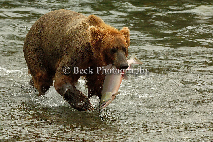 GRIZZLY BEAR WITH A SOCKEYE SALMON IN KULIK, ALASKA