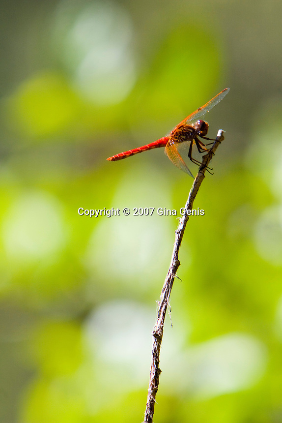 Orange dragonfly perched on a twig