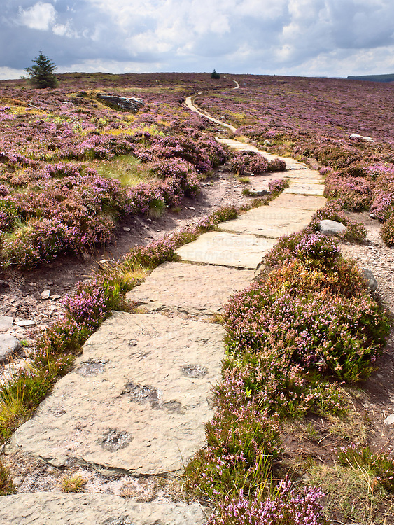 Stone Flagged Footpath across Heather Moorland in the Simonside Hills near Rothbury Northumberland England