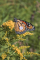 Monarch butterfly (Danaus plexippus) in Point Pelee National Park, Ontario, Canada sips nectar from late September goldenrod blooms in preparation for annual southern migration to winter roosting grounds in Transvolcanic mountains of central Mexico.  This Monarch has been tagged by volunteers as part of Monarch Watch, an educational outreach program run by University of Kansas in order to monitor migration routes and ongoing health of Monarch butterfly populations.