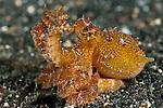 Poison ocellate octopus (Octopus mototi)