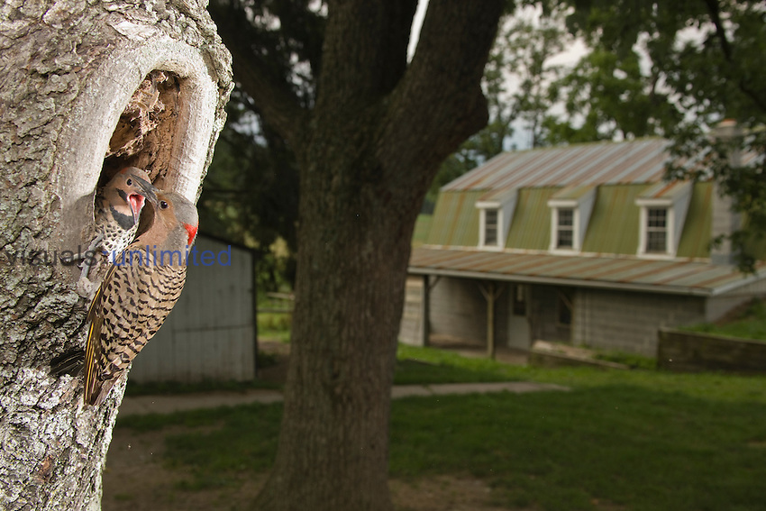 Yellow-shafted Northern Flicker (Colaptes auratus) feeding young at tree nest hole near a house, Pennsylvania, USA