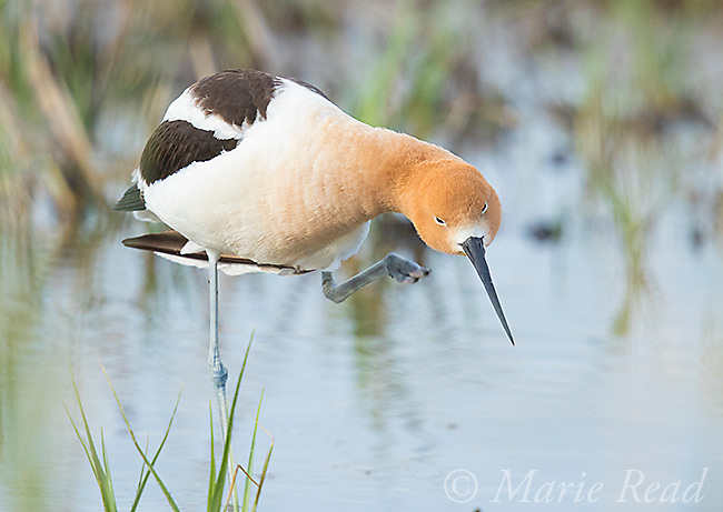 American Avocet (Recurvirostra americana) adult scratching using its foot, Bear River Migratory Bird Refuge, Utah, USA