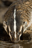 607520009 a wild adult american badger taxidea taxus drinks at a small pond in the coastal bend area of texas