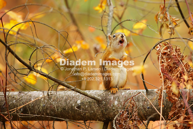 A squirrel vocalizes displeasure at the photographer.
