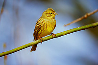 Goldammer, Weibchen, Gold-Ammer, Ammer, Emberiza citrinella, yellowhammer, female, Le Bruant jaune