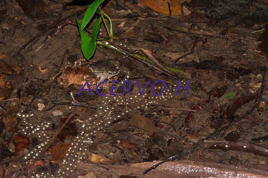 Rhinalla sp. (grupo margaritifera)<br /> .<br /> Sapos durante reprodu&ccedil;&atilde;o em po&ccedil;a tempor&aacute;ria formada pela &aacute;gua das chuvas no interior da floresta em Tef&eacute;. Nessa esp&eacute;cie &eacute; comum que diversos machos tentem acasalar com uma &uacute;nica f&ecirc;mea. Em algumas ocasi&otilde;es os machos brigam por espa&ccedil;o mas comumente eles formam uma massa &uacute;nica que pode conter diversos machos (neste caso, tr&ecirc;s machos e e uma f&ecirc;mea). A femea coloca os ovos na &aacute;gua e esses formam uma linha cont&iacute;nua (parecendo um colar de contas). Os ovos se desenvolvem na &aacute;gua e os girinos eclodem. Os girinos completam o seu desenvolvimento inteiro dentro da &aacute;gua.<br /> .<br /> Imagem feita em 2017 durante expedi&ccedil;&atilde;o cient&iacute;fica para a regi&atilde;o do Lago Tef&eacute;, Tef&eacute;, Amazonas, Brasil. A expedi&ccedil;&atilde;o, financiada pelo  Conselho Nacional de Desenvolvimento Cient&iacute;fico e Tecnol&oacute;gico, teve o abjetivo de reencontrar esp&eacute;cies de anf&iacute;bios descritas pelo explorador Johann Baptist von Spix no ano de 1824.