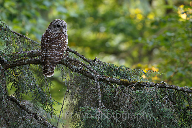 Adult Barred Owl (Strix varia). King County, Washington. May.