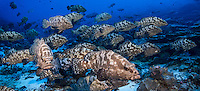 Spawing aggregation of Marbled Grouper, Epinephalus polyphekadion at Tetamanu, Fakarava,  Tuamotu Archipelago, French Polynesia, Pacific Ocean