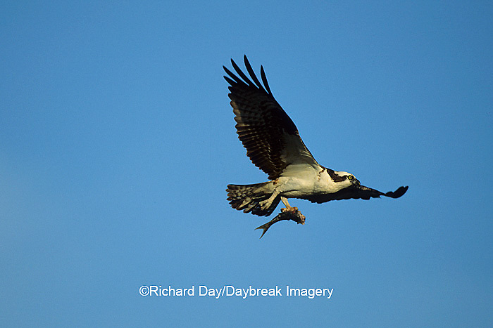 00783-01215 Osprey (Pandion haliaetus) male with fish in flight    FL