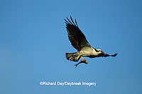 00783-01215 Osprey (Pandion haliaetus) male with fish in flight    FL