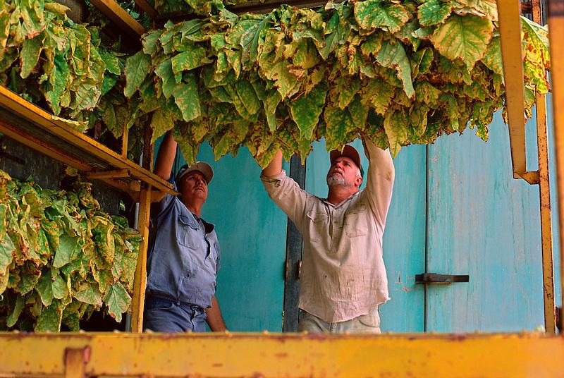 Handling Tobacco Leaf, John Anziliero (l) and Eddie Toffanello, Toffanello's Farm, Dimbulah, 2003.
