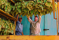 Handling Tobacco Leaf, John Anziliero (l) and Eddie Toffanello, Toffanello's Farm, Dimbulah, 2003.
