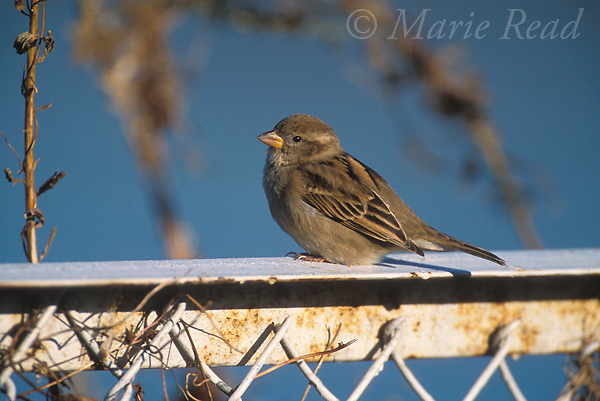 House Sparrow (Passer domesticus) adult female perched on a fence, Ithaca, New York, USA. Introduced species.