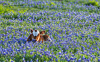 This probably was my favorite bluebonnet image this year of this longhorn calf laying in a field of wildflowers. The longhorn cattle is a symbol of Texas southwest and known for their docil temperment.  The longhorn can come in many different patterns and color including spotted. Longhorns are a hardy breed of cattle and can live off the land and can go a while without water. They also have some of the biggest horns of any cattle some have been known to be ten feet across. This cute little calf was probably just a few weeks old as it still had it cord attached from mom.  It was such a pretty little thing laying there in that nice patch of bluebonnets. We were hoping mom would come over and check on the baby but she was busy eating elsewhere.