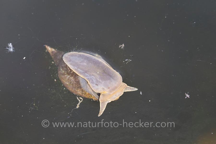 Spitzschlammschnecke, Spitz-Schlammschnecke an der Wasseroberfläche, Schlammschnecke, Spitzhornschnecke, Spitzhorn-Schnecke, Wasserschnecke, Lymnaea stagnalis, great pond snail