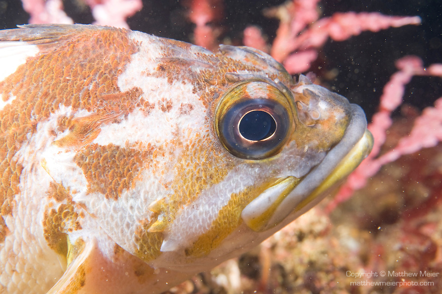 Santa Cruz Island, Channel Islands National Park and National Marine Sanctuary, California; close-up head shot of a Copper Rockfish , Copyright © Matthew Meier, matthewmeierphoto.com All Rights Reserved