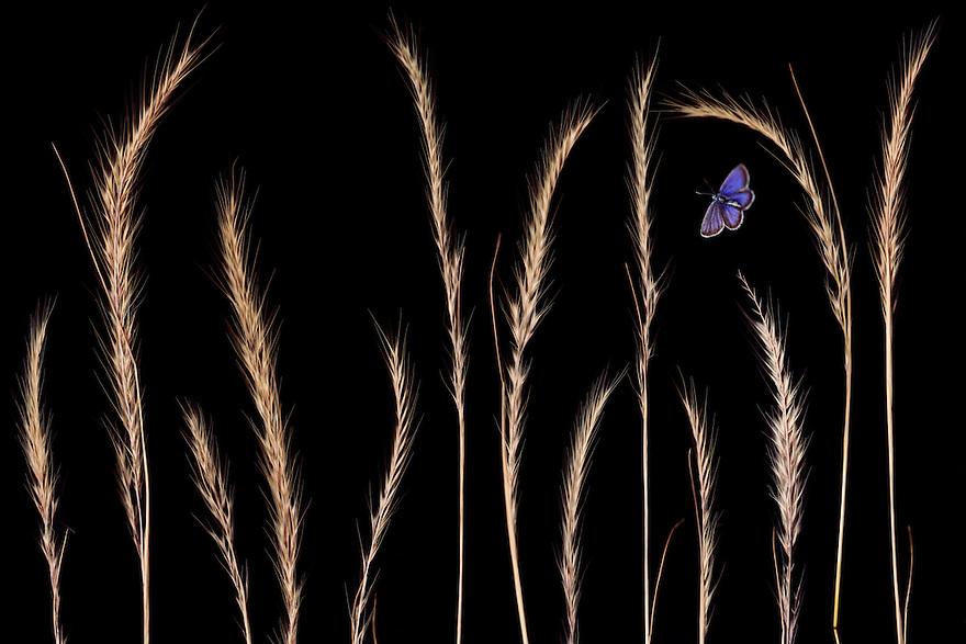 Rat&rsquo;s-tail Fescue grass, Vulpia myuros, and Silver-studded Blue butterfly, Plebejus argus, Stenje region, Lake Macro Prespa (850m) <br /> Galicica National Park, Macedonia, June 2009<br /> Mission: Macedonia, Lake Macro Prespa /  Lake Ohrid, Transnational Park<br /> David Maitland / Wild Wonders of Europe