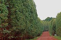 Viveiro de mudas de eucalipto,  gênero de arbustos ou árvores de grande porte, da família das mirtáceas da empresa Jarí, usado  para plantio de extensas áreas de espécie para posterior produção de de papel e celulose  (grupo Orsa).<br />A fábrica da Jari em local próximo,  onde é beneficiada a madeira, foi construída em cima de uma balsa e trazida por empurradores do Japão no final da década de 70 e instalada as margens do rio Jarí, fronteira do Pará com o Amapá.<br />Almeirim, Pará, Brasil.<br />Foto Paulo Santos/Interfoto<br />03/2005.