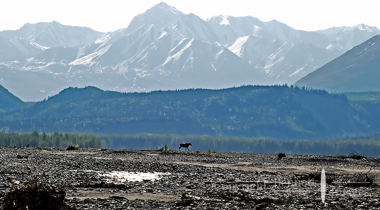 A moose walks along a Matanuska River gravel bar about 20 miles north of its confluence with the Chickloon River.
