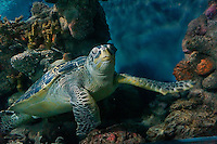 An underwater view of a honu (Hawaiian green sea turtle) swimming along a reef in Hawaiian waters.