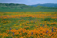 California poppies, goldfields and Douglas' lupine<br />