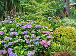 Vashon-Maury Island, WA: Summer perennial garden featuring hydrangea, Japanese maple, spirea and lilies.