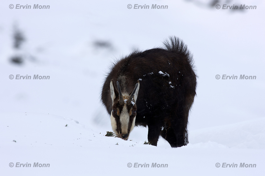 Chamois buck in the snow eating a small bush