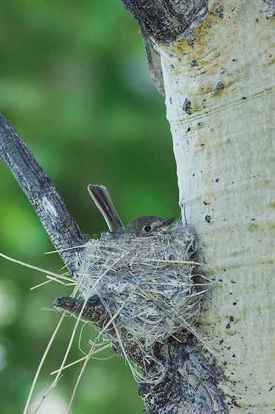 Western Wood-Pewee,Contopus sordidulus,adult on nest in aspen tree,Rocky Mountain National Park, Colorado, USA