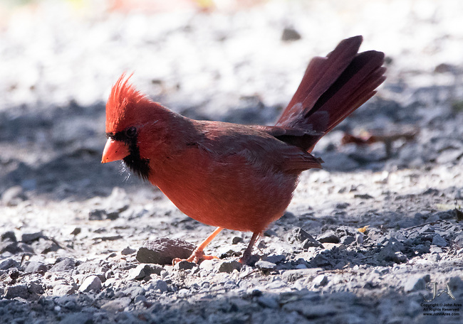 """Male Cardinal at the Conference House Park preparing to nail a worm.  Dramatic backlighting highlights his crest, beak and """"whiskers.""""  He did fly off with a worm moments later."""