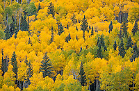 Uncompahgre National Forest CO: A hillside of fall aspens and pines.