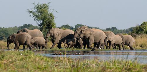 Elephants crossing waterway (could pass for Okavango Delta, Botswana).