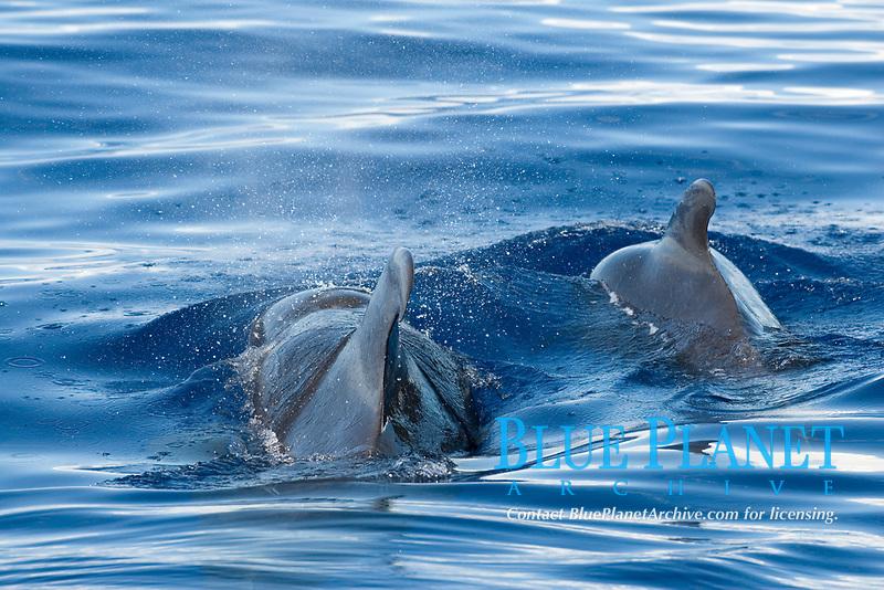 Short finned pilot whale (globicephala macrorhynchus) Easten Caribbean. Two pilot whales.