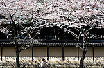 People walk under the cherry trees blossoming by the outer wall of Yasukuni Shrine in Tokyo, Japan on 30 March, 2010. Snow and unusually cold weather has delayed the blossoming of Japanese cherry trees throughout the country.