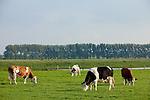 Europa, DEU, Deutschland, Nordrhein Westfalen, NRW, Rheinland, Niederrhein, Xanten, Landwirtschaft, Grasende Kuehe, Weidegang, Naturschutzgebiet Xantener Altrhein - Bislicher Insel, Eine niederrheinische Idylle im Spaetsommer. Glueckliche Kuehe grasen auf dem Gruenland im Naturschutzgebiet Xantener Altrhein auf der Bislicher Insel, in der Naehe bei  Xanten. Kuehe als Nutztiere in der Landwirtschaft sind wichtige Milch- und Fleischlieferanten., Kategorien und Themen, Landwirtschaft, Landwirtschaftlich, Agrar, Agrarwirtschaft, Erzeugung, Landwirtschaftliche Produkte, Natur, Naturfoto, Naturfotos, Naturfotografie, Naturphoto, Naturphotographie....[Fuer die Nutzung gelten die jeweils gueltigen Allgemeinen Liefer-und Geschaeftsbedingungen. Nutzung nur gegen Verwendungsmeldung und Nachweis. Download der AGB unter http://www.image-box.com oder werden auf Anfrage zugesendet. Freigabe ist vorher erforderlich. Jede Nutzung des Fotos ist honorarpflichtig gemaess derzeit gueltiger MFM Liste - Kontakt, Uwe Schmid-Fotografie, Duisburg, Tel. (+49).2065.677997, archiv@image-box.com, www.image-box.com]