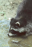 MA25-001z  Raccoon - young animal at pond - Procyon lotor