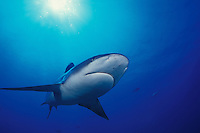 A silvertip shark, Carcharhinus albimarginatus, up close & personal.  Burma Banks, Andaman Sea, Indian Ocean