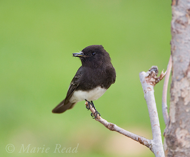 Black Phoebe (Sayornis nigricans) with insect (fly) in its bill, Orange County, California, USA