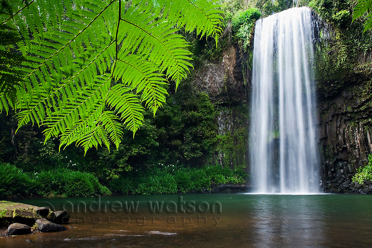 Rainforest fern at Millaa Millaa Falls.  Atherton Tablelands, Queensland, Australia