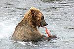 Alaska brown bear eating salmon
